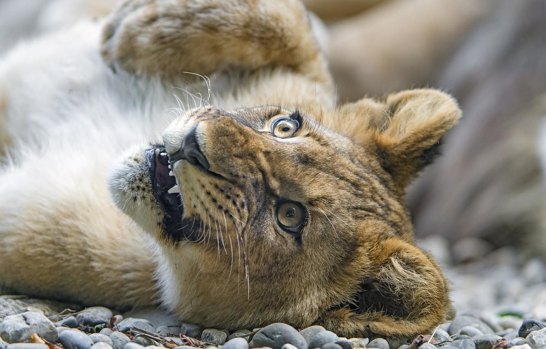 Photo wallpaper face, paw, predator, cub, wild cat, lion