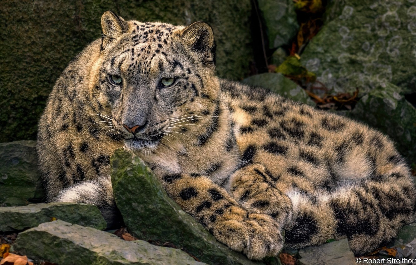 Photo wallpaper predator, lies, IRBIS, snow leopard, wild cat