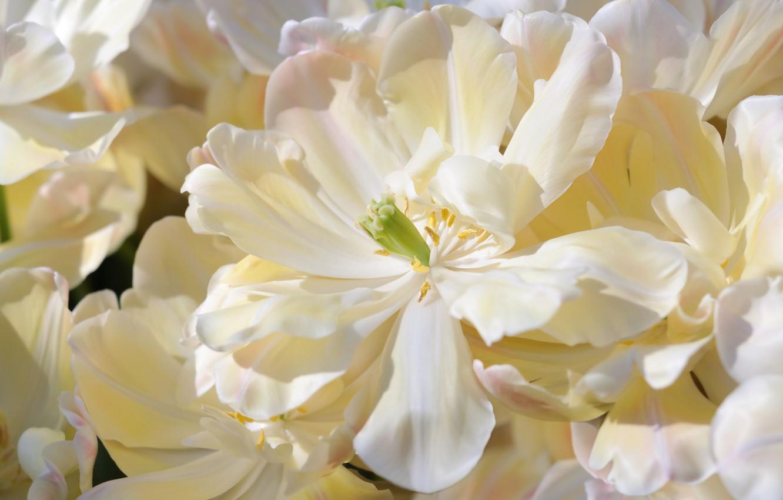 Photo wallpaper macro, petals, tulips, white