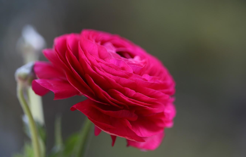 Photo wallpaper flower, macro, Bud, Persian Buttercup
