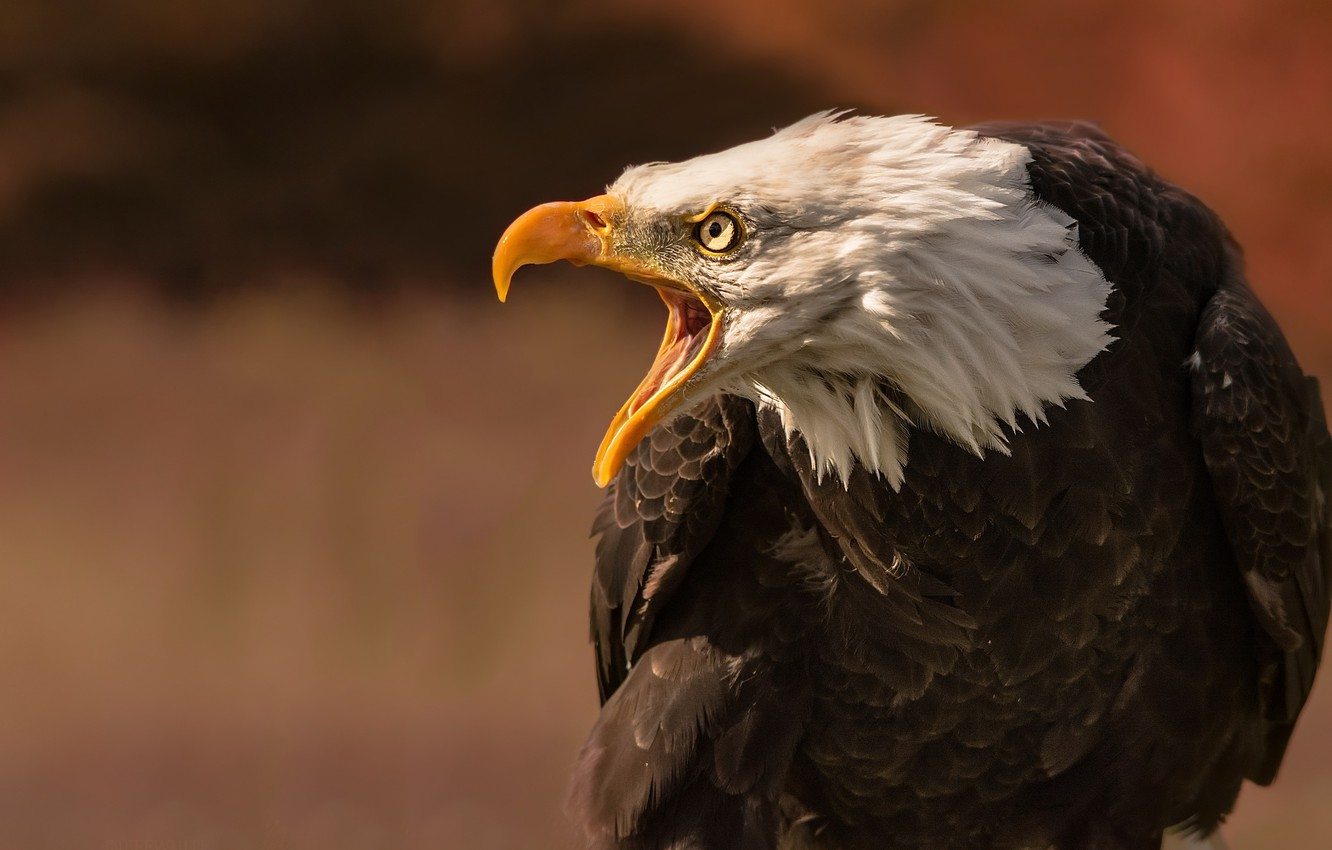 Photo wallpaper nature, bird, eagle