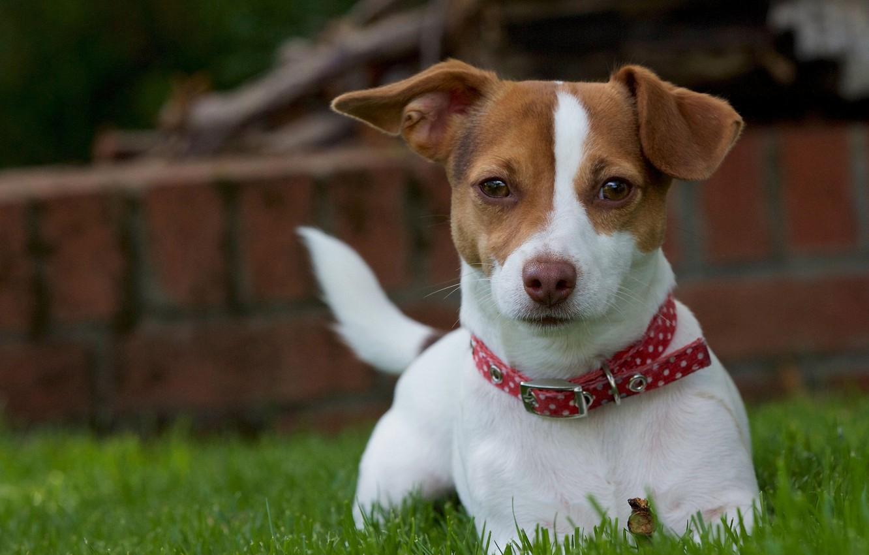Photo wallpaper grass, look, dog, puppy, collar, doggie, Jack Russell Terrier