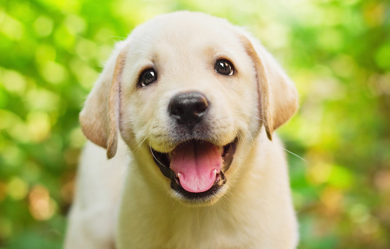 Photo wallpaper greens, language, eyes, look, green, background, puppy, face, cutie, fun, bokeh, Retriever