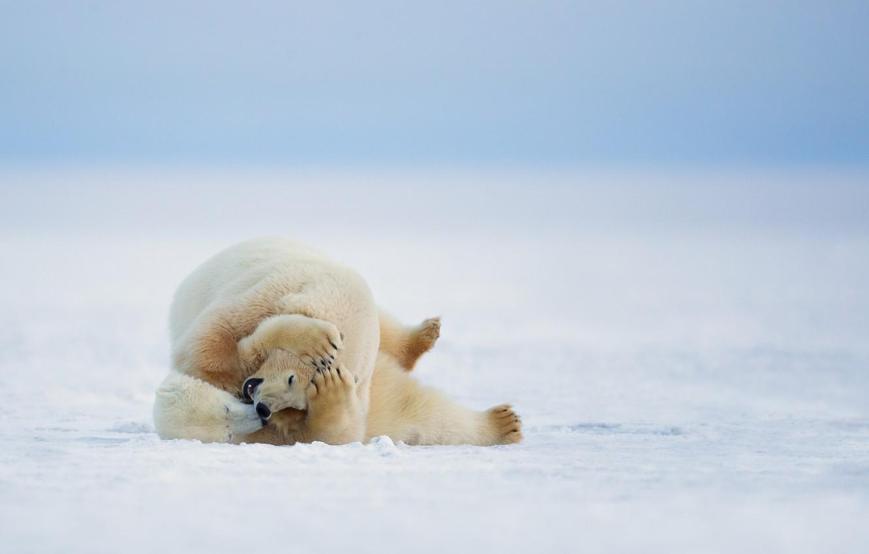 Photo wallpaper winter, nature, polar bears