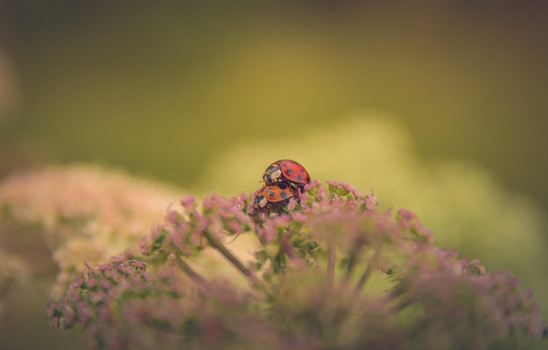 Photo wallpaper background, pair, ladybugs