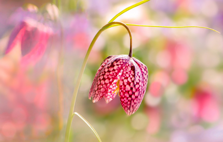 Photo wallpaper flower, light, bokeh, Chess grouse