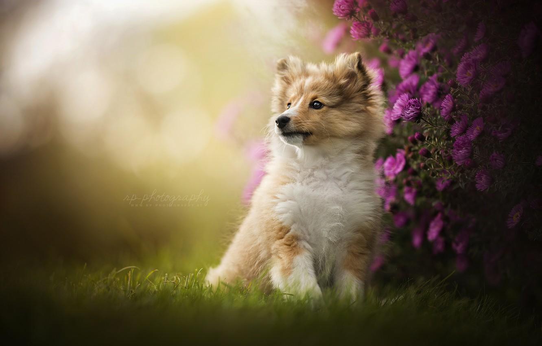 Photo wallpaper flowers, portrait, dog, puppy, Sheltie, Shetland Sheepdog