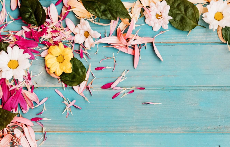 Photo wallpaper flowers, petals, chrysanthemum, blue background