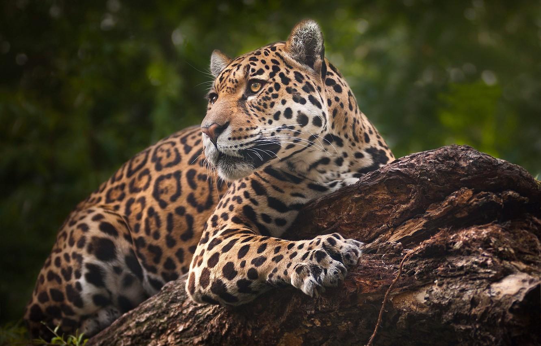 Photo wallpaper portrait, predator, Jaguar, wild cat
