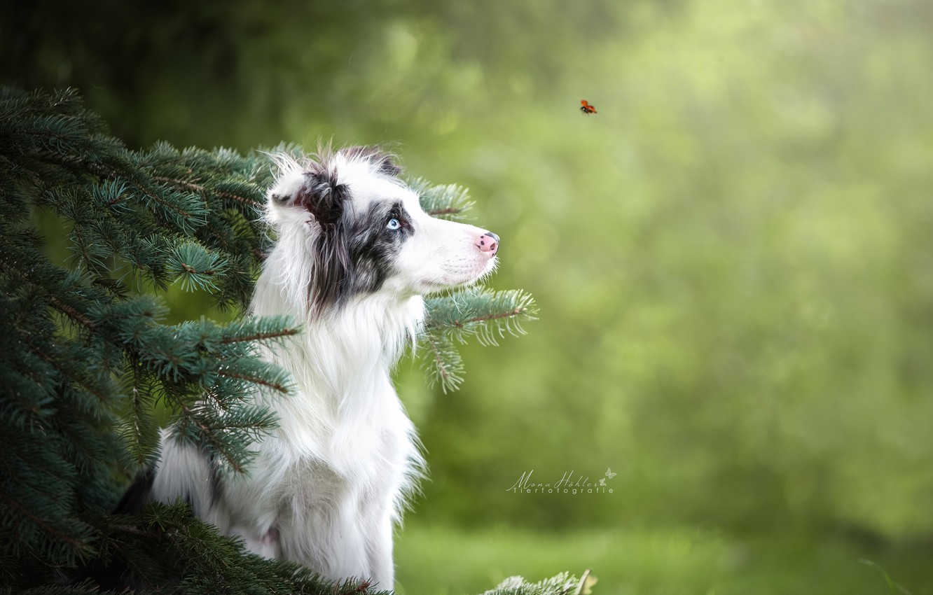 Photo wallpaper branches, ladybug, spruce, beetle, dog, bokeh, The border collie