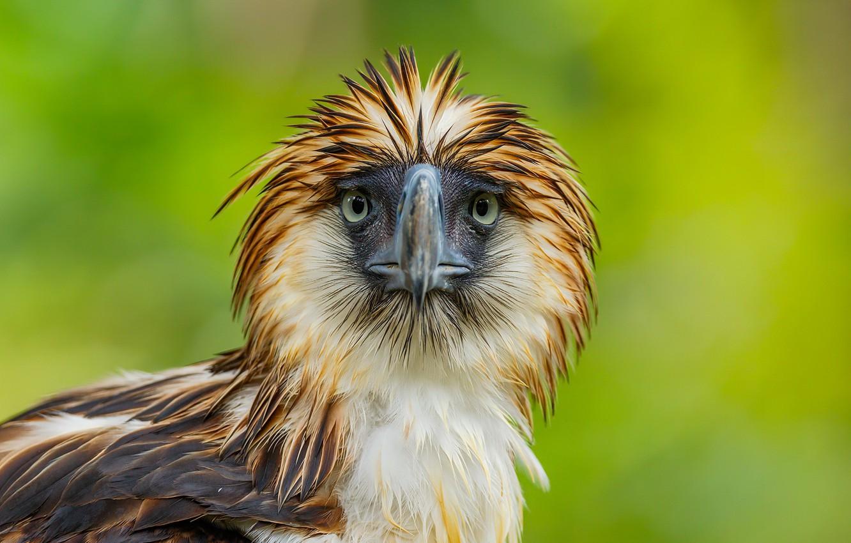 Photo wallpaper nature, bird, Philippine Eagle