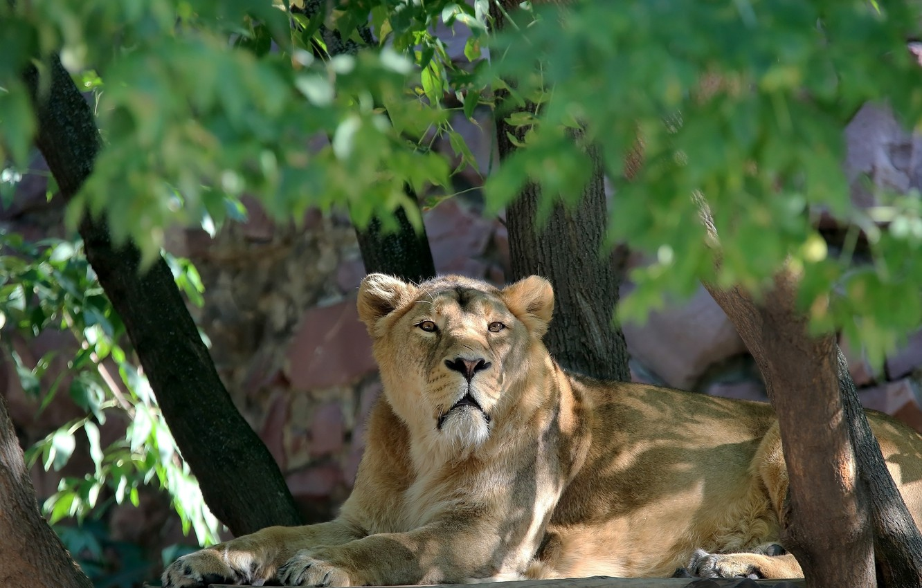 Photo wallpaper nature, thickets, foliage, portrait, the plot, lions, lioness, Sunny, zoo, cat, fauna, sketch, animal world