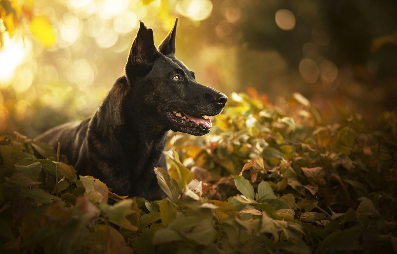 Photo wallpaper face, leaves, portrait, dog