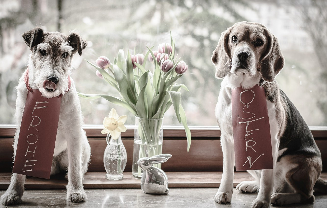 Photo wallpaper animals, dogs, flowers, hare, window, Easter, pair, tulips, vase, figure, Narcissus, Beagle, the Foxhound