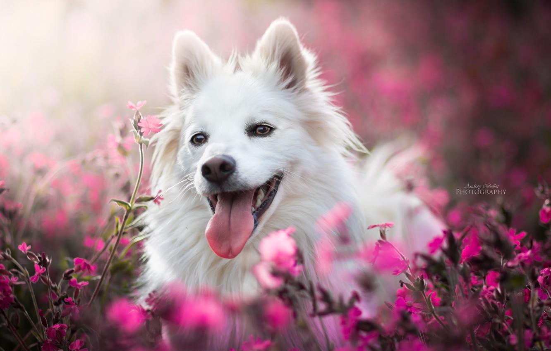 Photo wallpaper language, face, joy, flowers, dog, bokeh