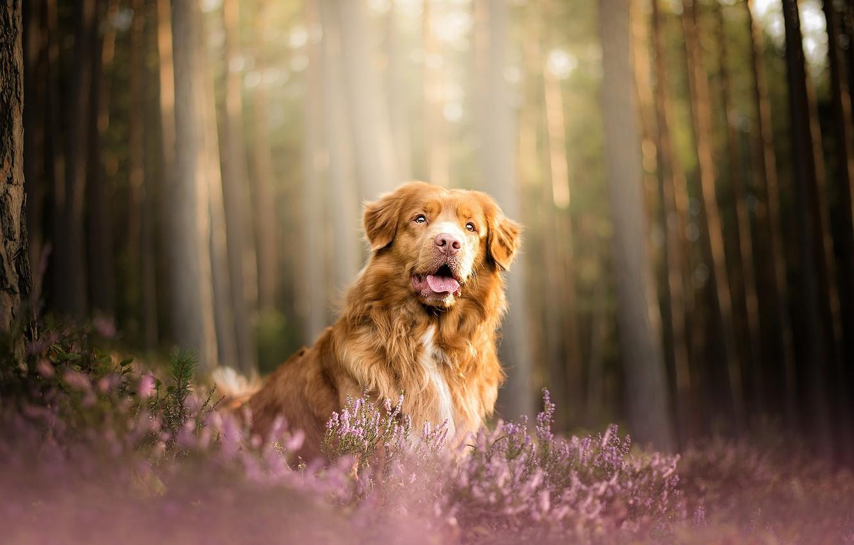 Photo wallpaper forest, dog, Heather, Nova Scotia duck tolling Retriever
