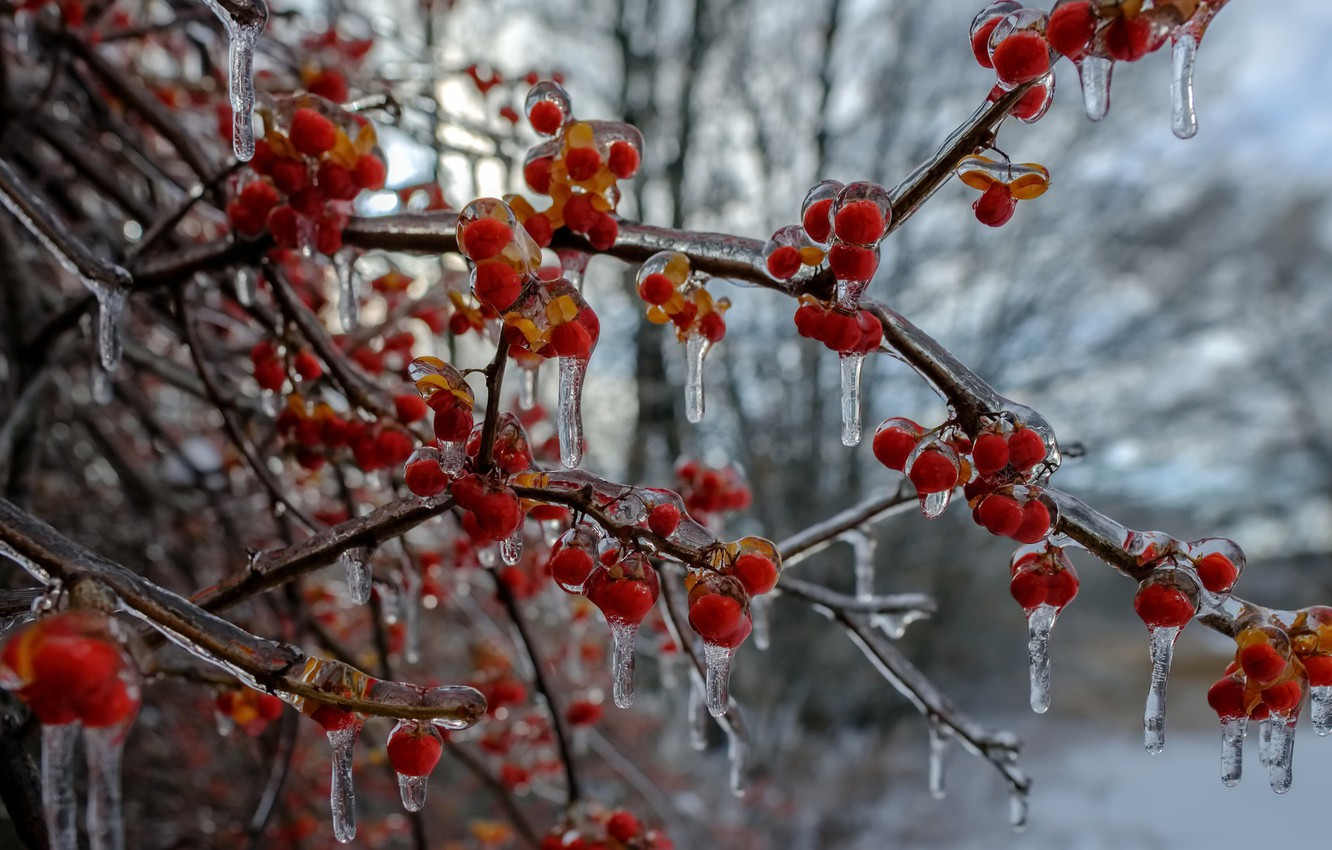 Photo wallpaper winter, berries, ice