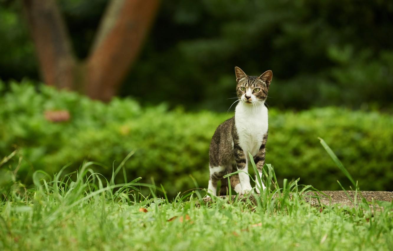 Photo wallpaper greens, cat, grass, cat, nature, green, Park, grey, background, garden, walk, striped, the bushes, grey …