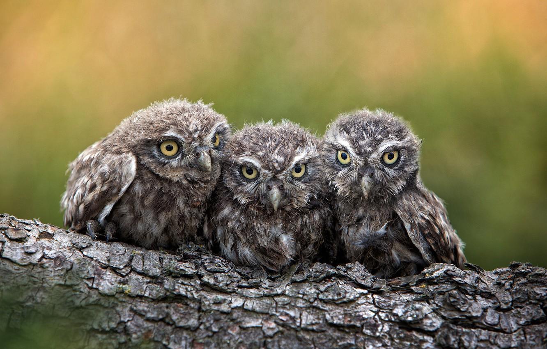 Photo wallpaper birds, log, Chicks, owlets