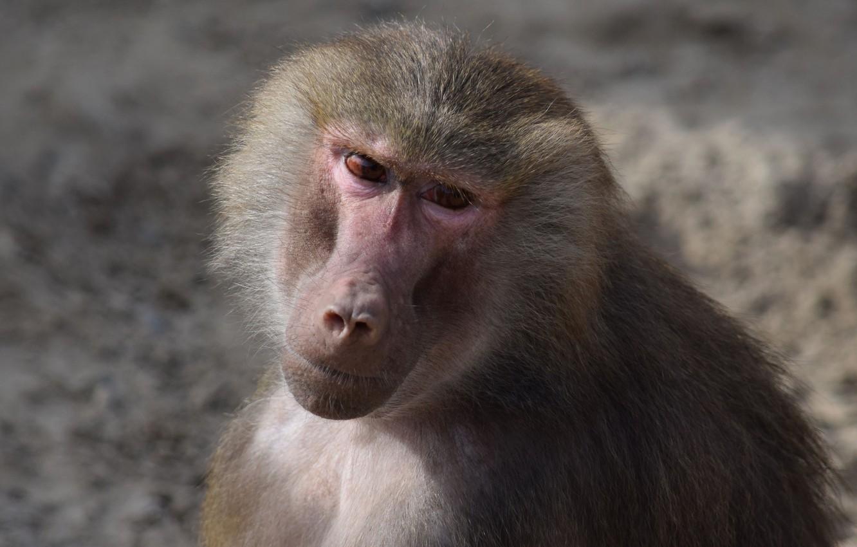 Photo wallpaper Look, Monkey, Sadness