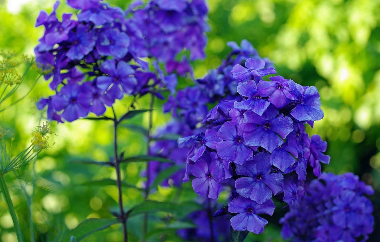 Photo wallpaper summer, nature, beauty, plants, blue color, many, flora, Phlox, perennials, ultramarine color