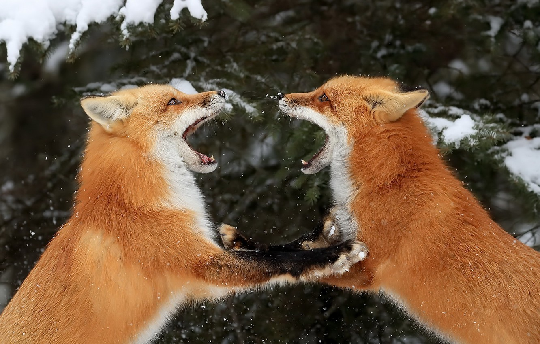 Photo wallpaper winter, nature, Fox