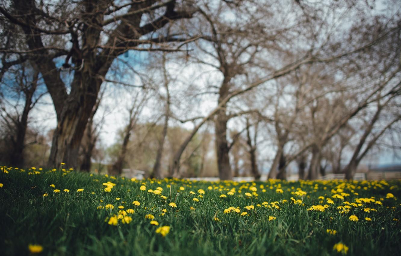 Photo wallpaper grass, trees, flowers, yellow, dandelions