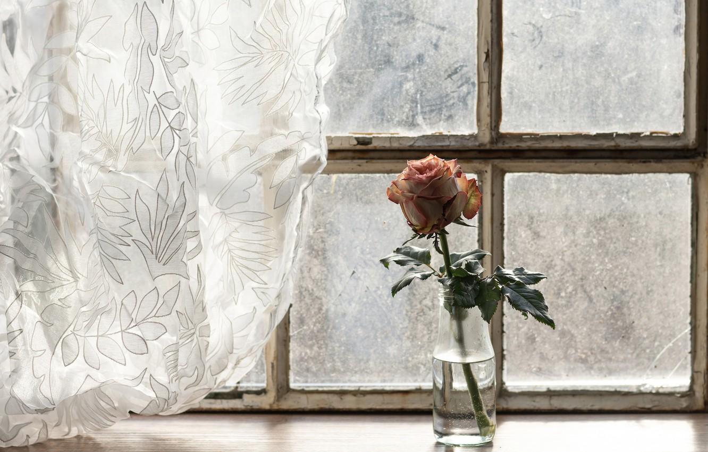 Photo wallpaper flower, rose, window, curtains