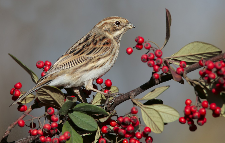 Photo wallpaper nature, berries, bird