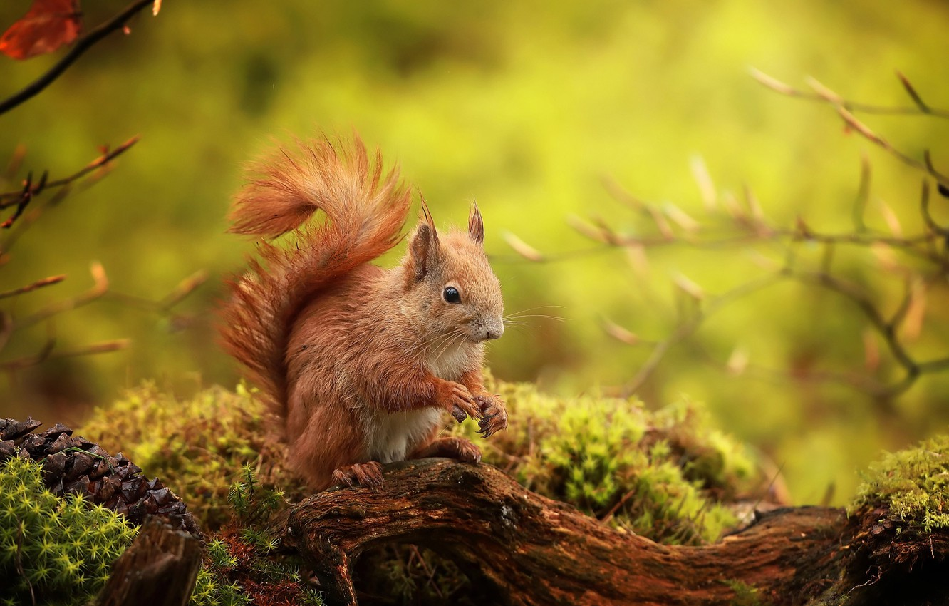 Photo wallpaper branches, nature, animal, moss, protein, snag, bump, animal, rodent