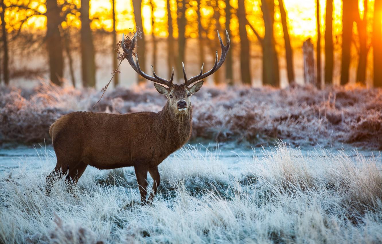 Wallpaper ice, forest, horns, snow, Elk