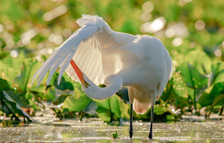 Photo wallpaper water, bird, wing, Heron, bokeh, Great white egret