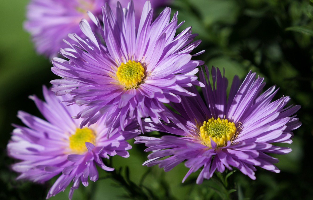 Photo wallpaper flowers, petals, asters