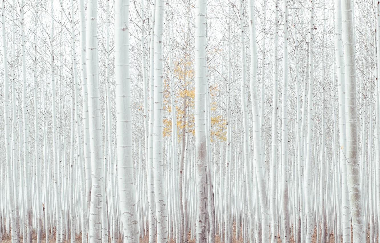 Photo wallpaper autumn, forest, trees, USA, bark, forest, grove, trees, Oregon, aspen, aspen, United Staes, Boardman Tree …