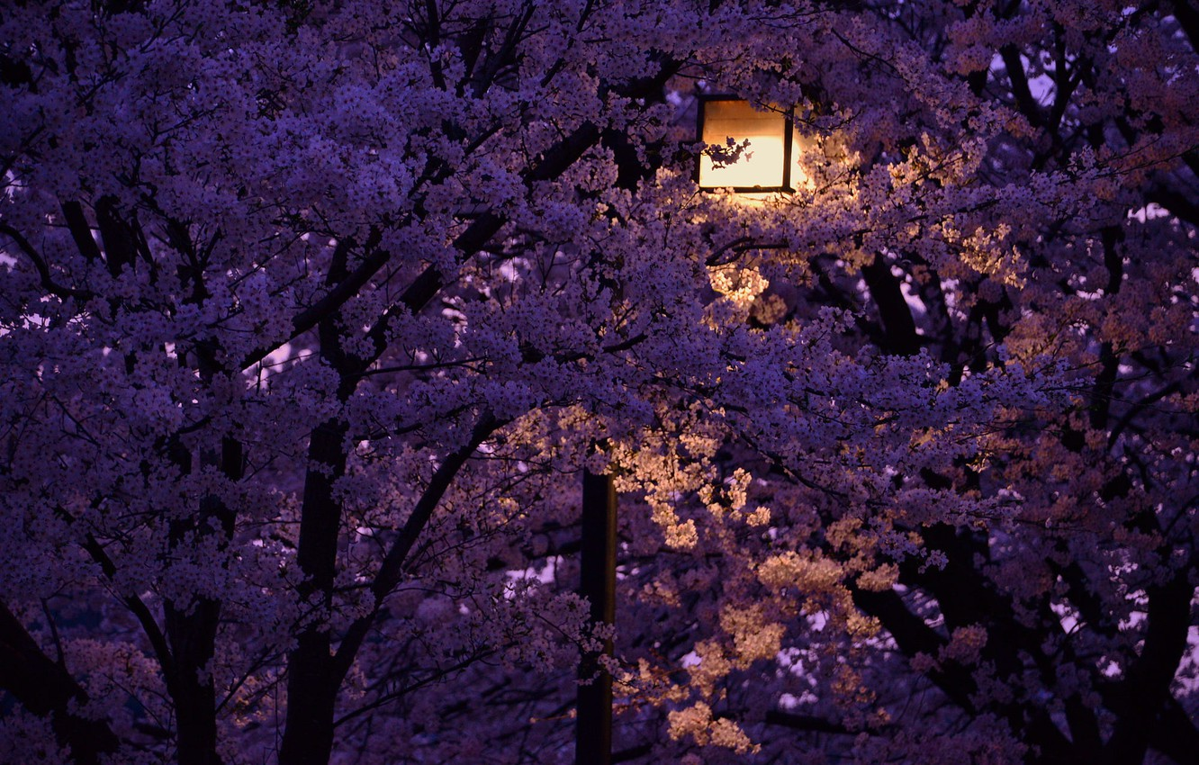 Wallpaper night lantern Japan cherry blossoms images for