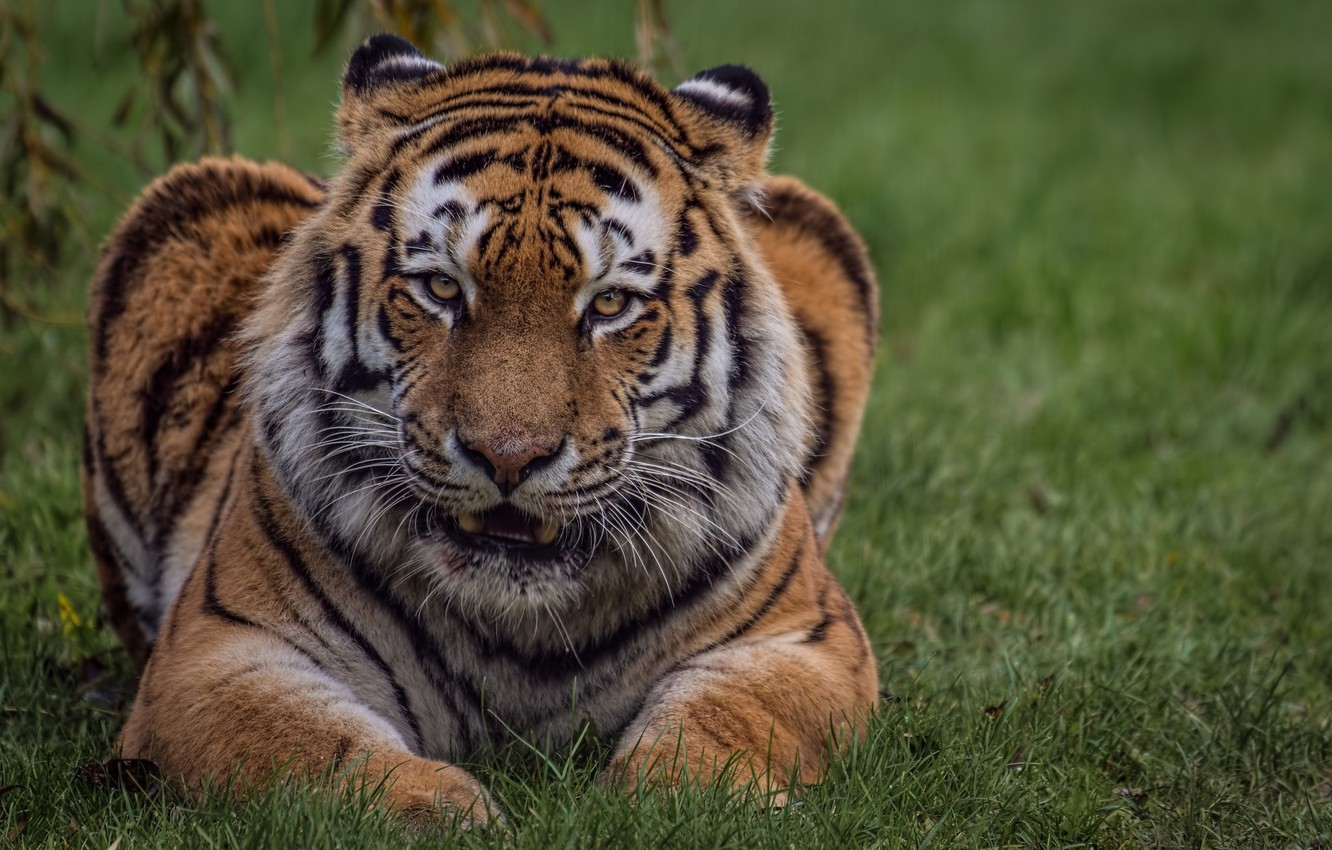 Photo wallpaper cat, look, nature, tiger, weed