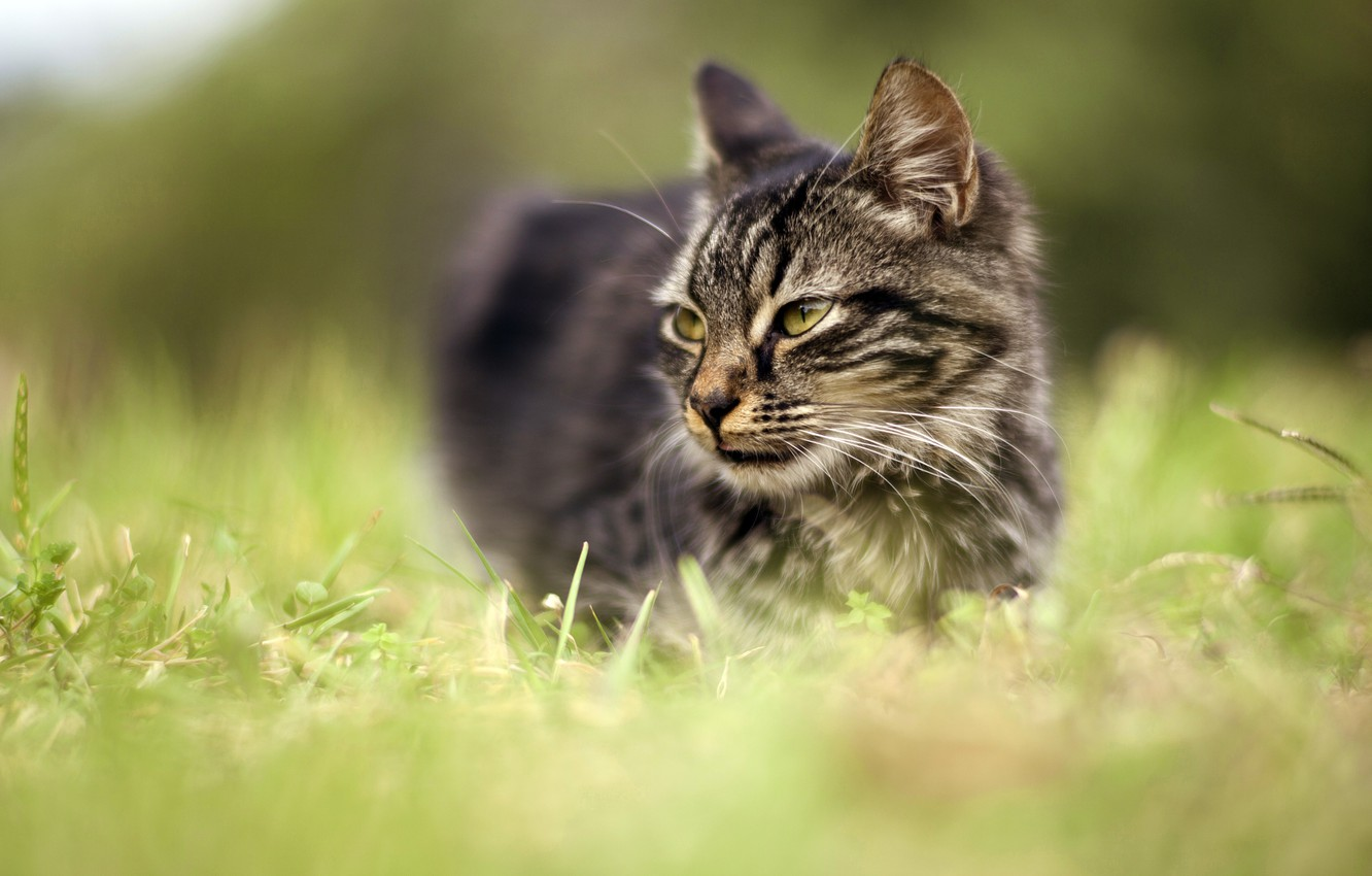 Photo wallpaper cat, grass, eyes, cat, look, face, nature, grey, background, portrait, meadow, green, striped, blurred