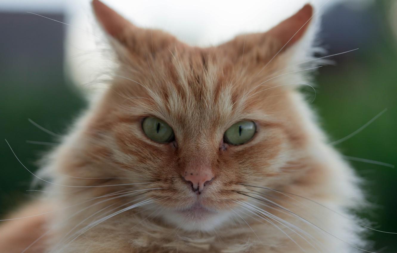 Photo wallpaper cat, look, muzzle, red cat