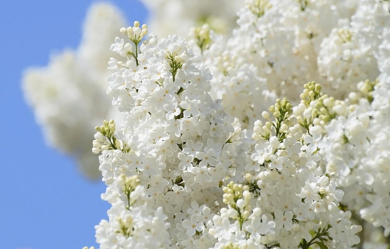 Photo wallpaper flowers, lilac, lilac garden