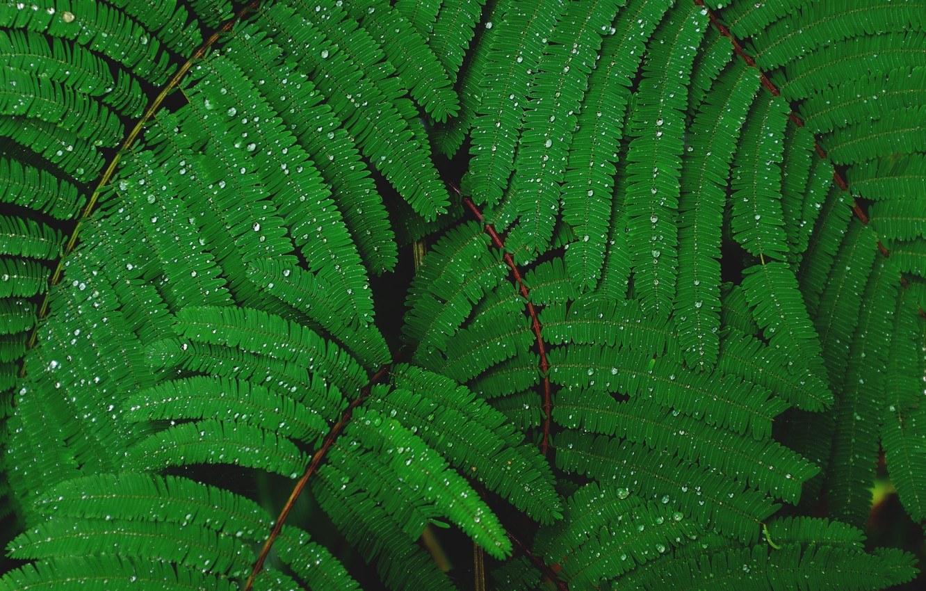 Photo wallpaper leaves, drops, foliage, leaves, water drops, Mimosa, green leaves, after Dagda