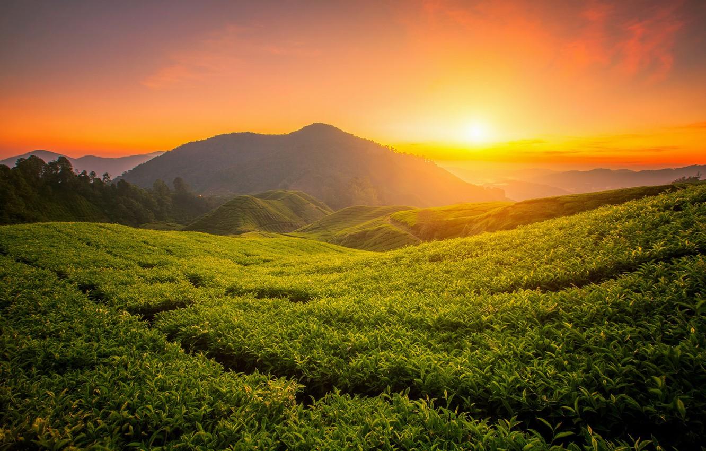 Photo wallpaper landscape, mountains, nature, sunrise, tea, plant