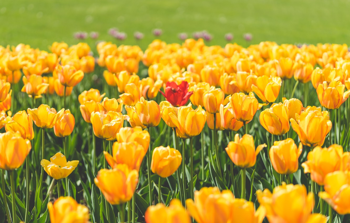 Photo wallpaper flowers, red, yellow, petals, tulips