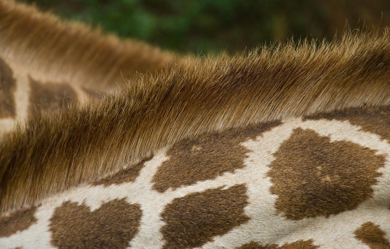 Photo wallpaper animal, texture, wool, giraffe, spot, fur, neck, scruff