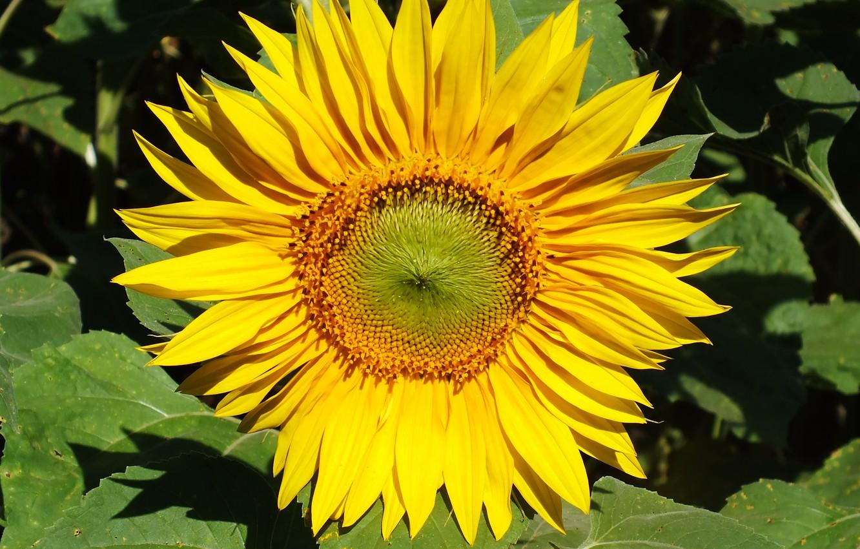 Photo wallpaper flower, summer, yellow, sheet, sunflower