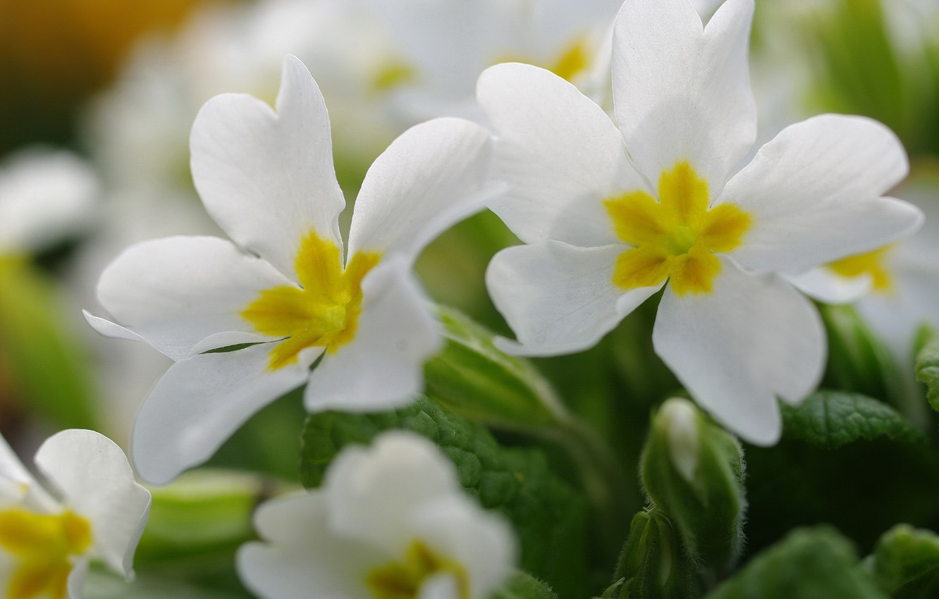 Photo wallpaper macro, flowers, nature, tenderness, beauty, plants, spring, may, primroses, cottage, flora, awakening, white color, Primula, …