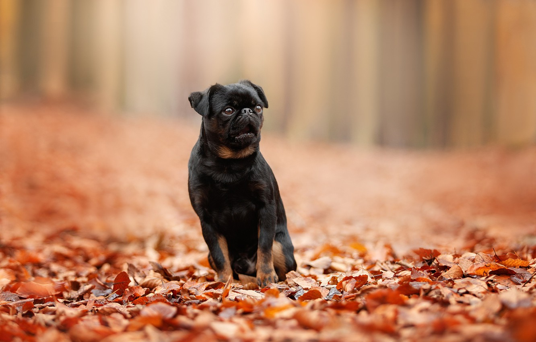 Photo wallpaper autumn, leaves, foliage, bokeh, doggie, dog, Petit Brabancon