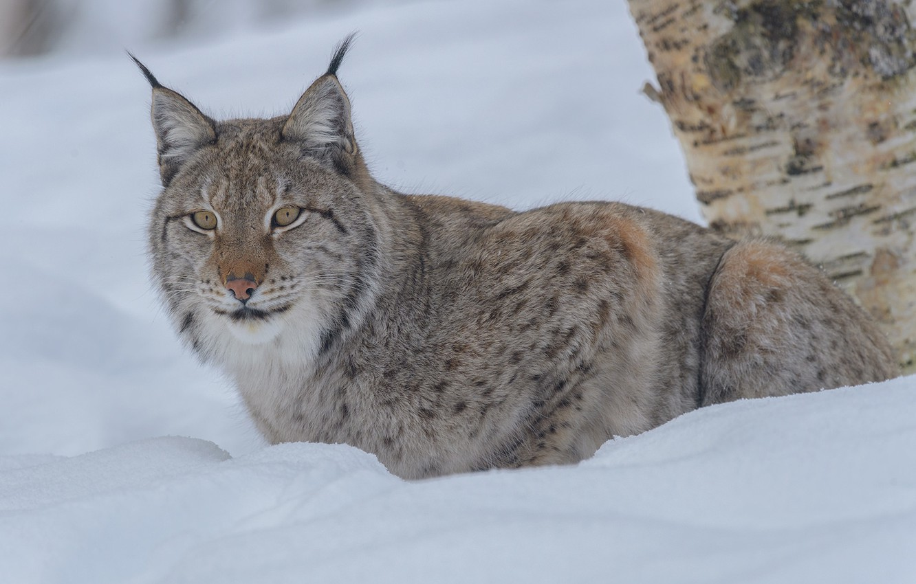 Photo wallpaper winter, look, snow, lynx, wild cat