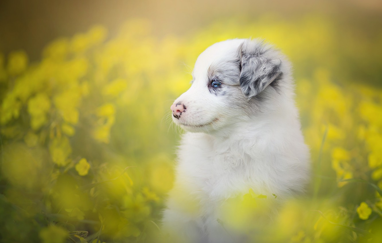 Photo wallpaper flowers, dog, puppy, bokeh, The border collie