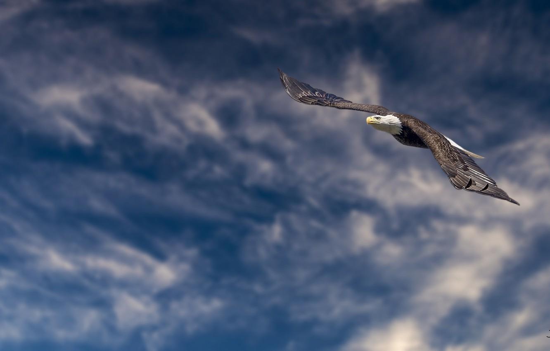 Photo wallpaper height, flight, bald eagle, bird of prey
