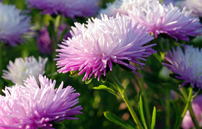 Photo wallpaper autumn, flowers, nature, beauty, plants, the color purple, cottage, flora, asters, annuals